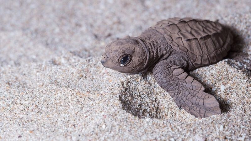 Save baby turtles, win Shambala tickets!