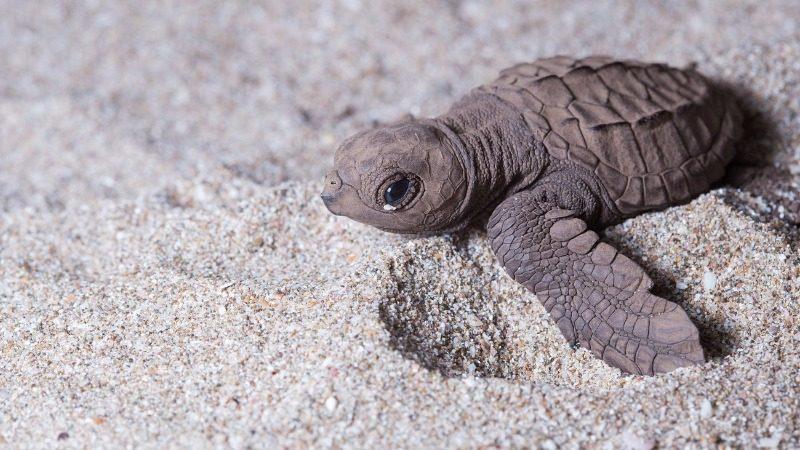 Save baby turtles, win Shambala tickets!